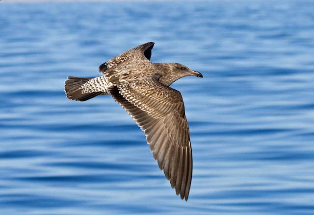 Western Gull. San Diego, California.