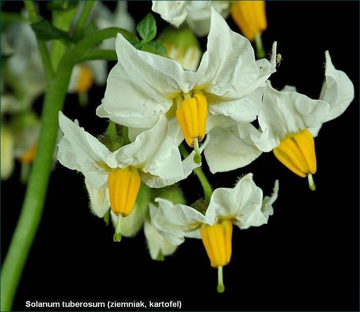 Solanum tuberosum - Psianka ziemniak, kartofel kwiaty