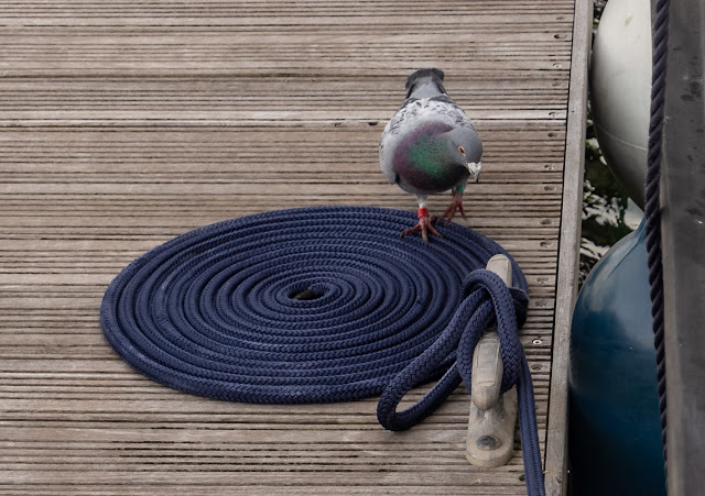 Photo of a visiting pigeon on one of our mooring ropes