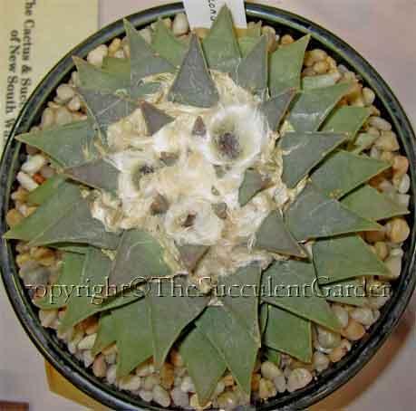 Ariocarpus -retusus -velongata-Kaktus-di-terrarium-jakarta-indonesia-blogspot-com12