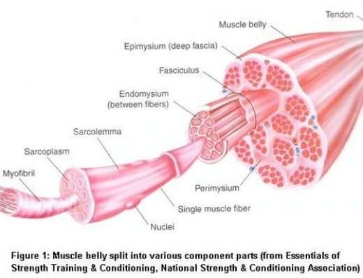 skeletal muscle diagram labeled human anatomy skin structure of to label wiring diagrams control biology 156 heart