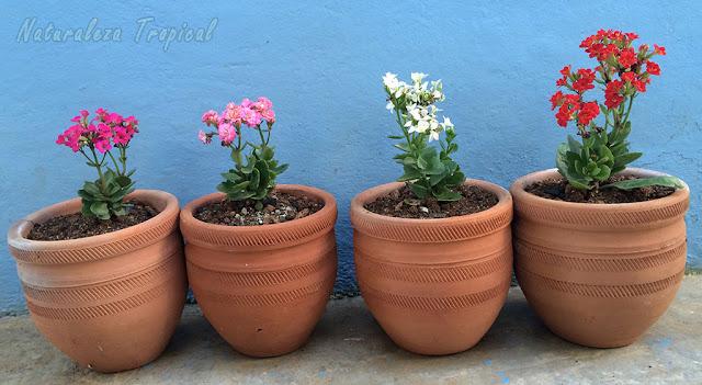 Colección de 4 variedades en macetas del Kalanchoe blossfeldiana