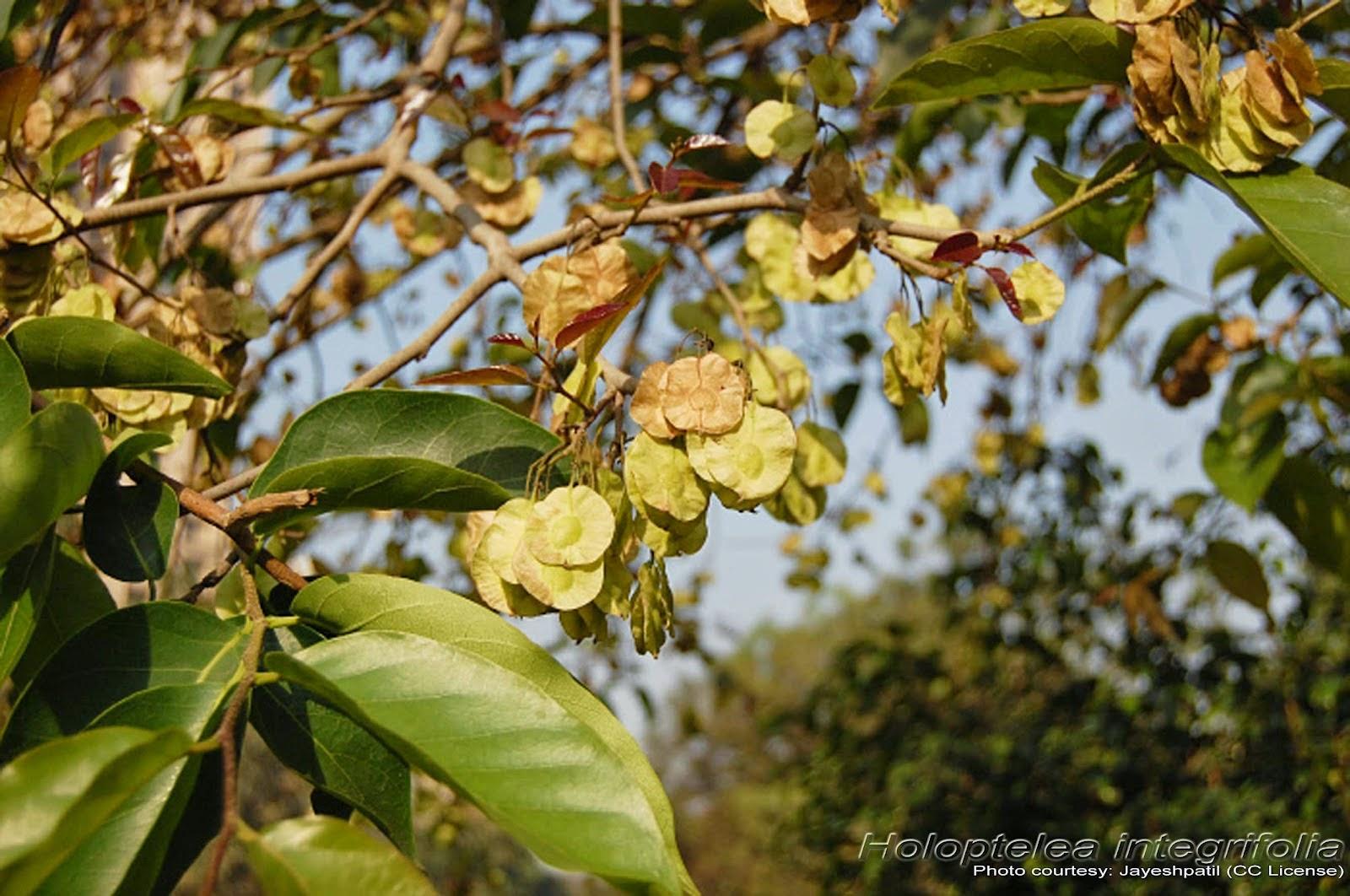 Chilbil Seed / Indian Elm   HerbalCenter