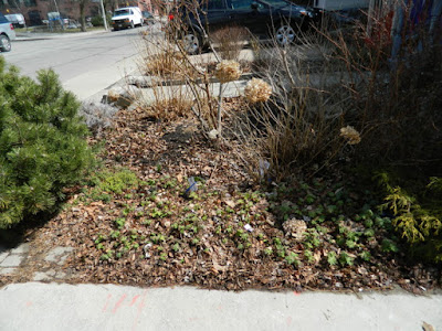Toronto Leslieville Spring Front Yard Cleanup Before by Paul Jung Gardening Services--a Toronto Gardening Company