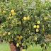 Kumquat Much More Than A Beautiful Dwarf Citrus Tree