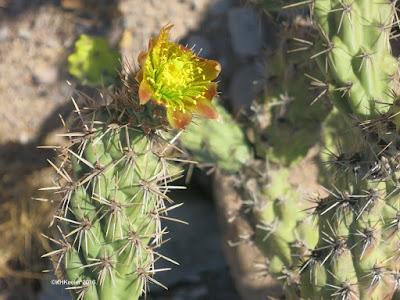 Cylindropuntia, Baja California