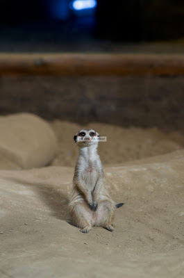 Ark Avilon Zoo - Meerkat