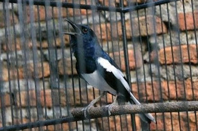 5 Jenis Penyakit Burung Kacer Dan Gejala Awalnya
