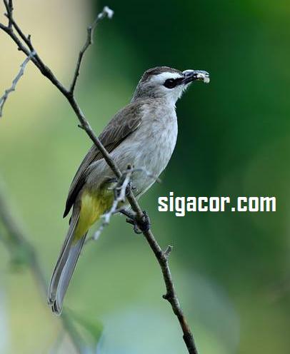 Makanan Burung Trucukan Agar Cepat Gacor
