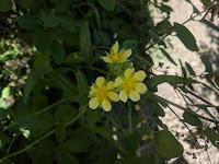 A Yellow Sulphur Cinquefoil Flower
