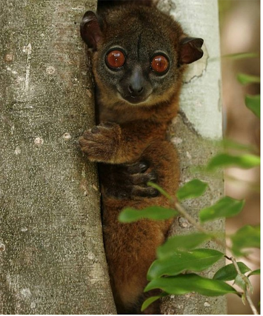 Northern sportive lemur endangered species