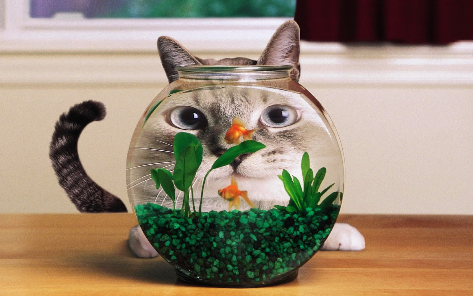 Funny cat images for laugh humorous hd wallpaper for Fish videos for cats