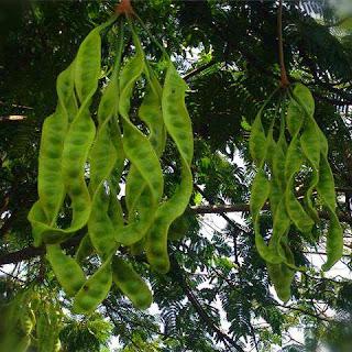 pohon-petai-cepat-berbuah.jpg
