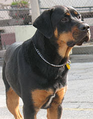 Apollo the Rottweiler