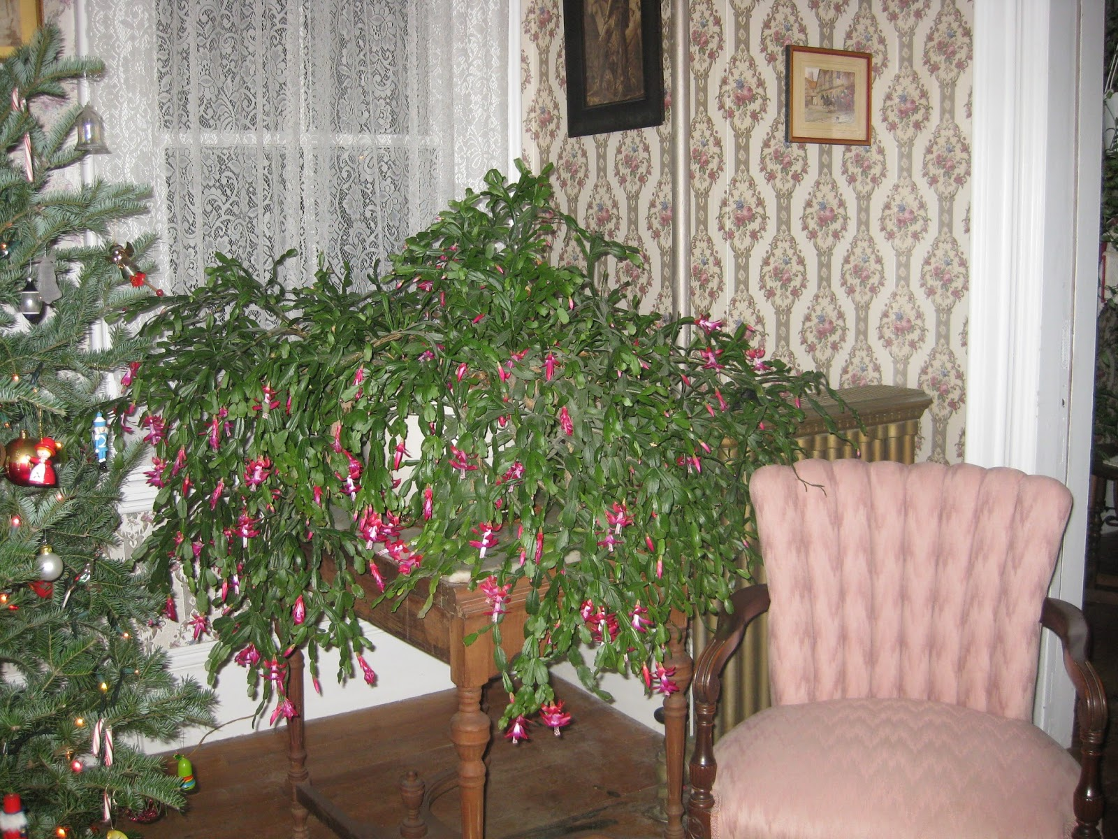christmas cactus plant leaves turning red