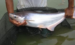 cara budidaya ikan patin di kolam terpal,cara budidaya ikan patin agar cepat besar,cara budidaya ikan patin di kolam beton,cara budidaya ikan patin di kolam tanah,cara budidaya ikan patin organik,