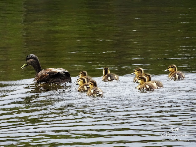 Ducklings Photo
