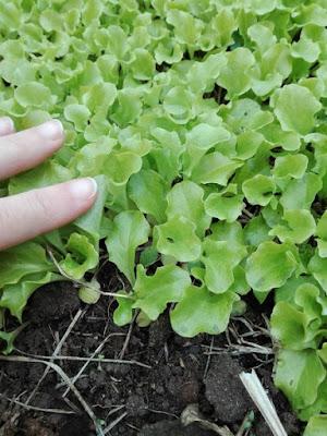 Programmare l'orto per l'estate: seminare lattughe ad aprile
