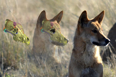Dingo skull resistant to change from cross breeding with dogs
