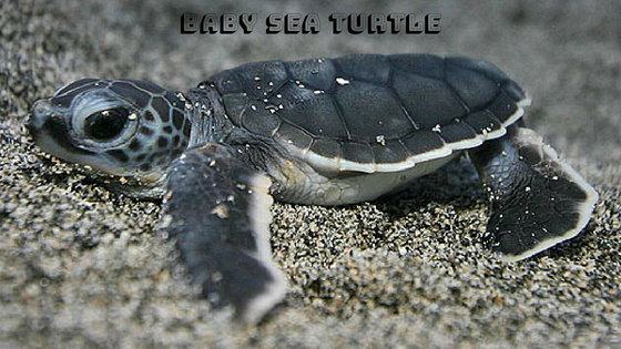 20 Of The Beautiful And Cute Baby Sea Turtle Pictures