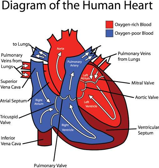 Adult Heart Diagram 105