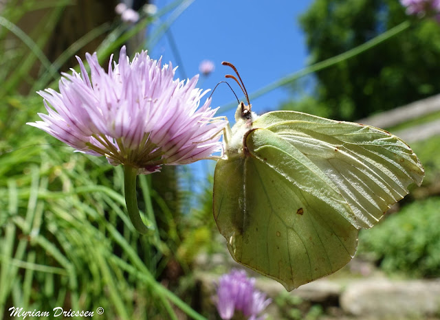 papillon Citron sur fleur de ciboulette