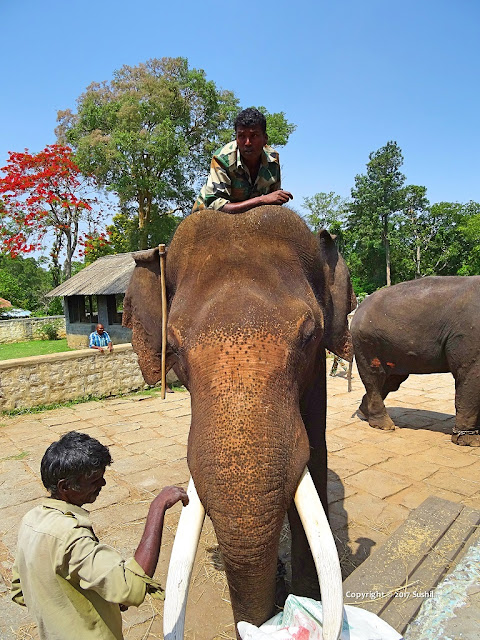 You can Feed Elephants in Dubare Elephant Camp, Coorg