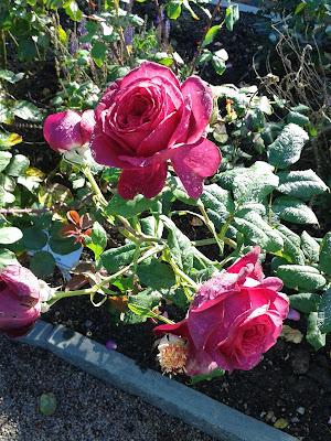 Stjarnan jag bara ros nastan tarogd