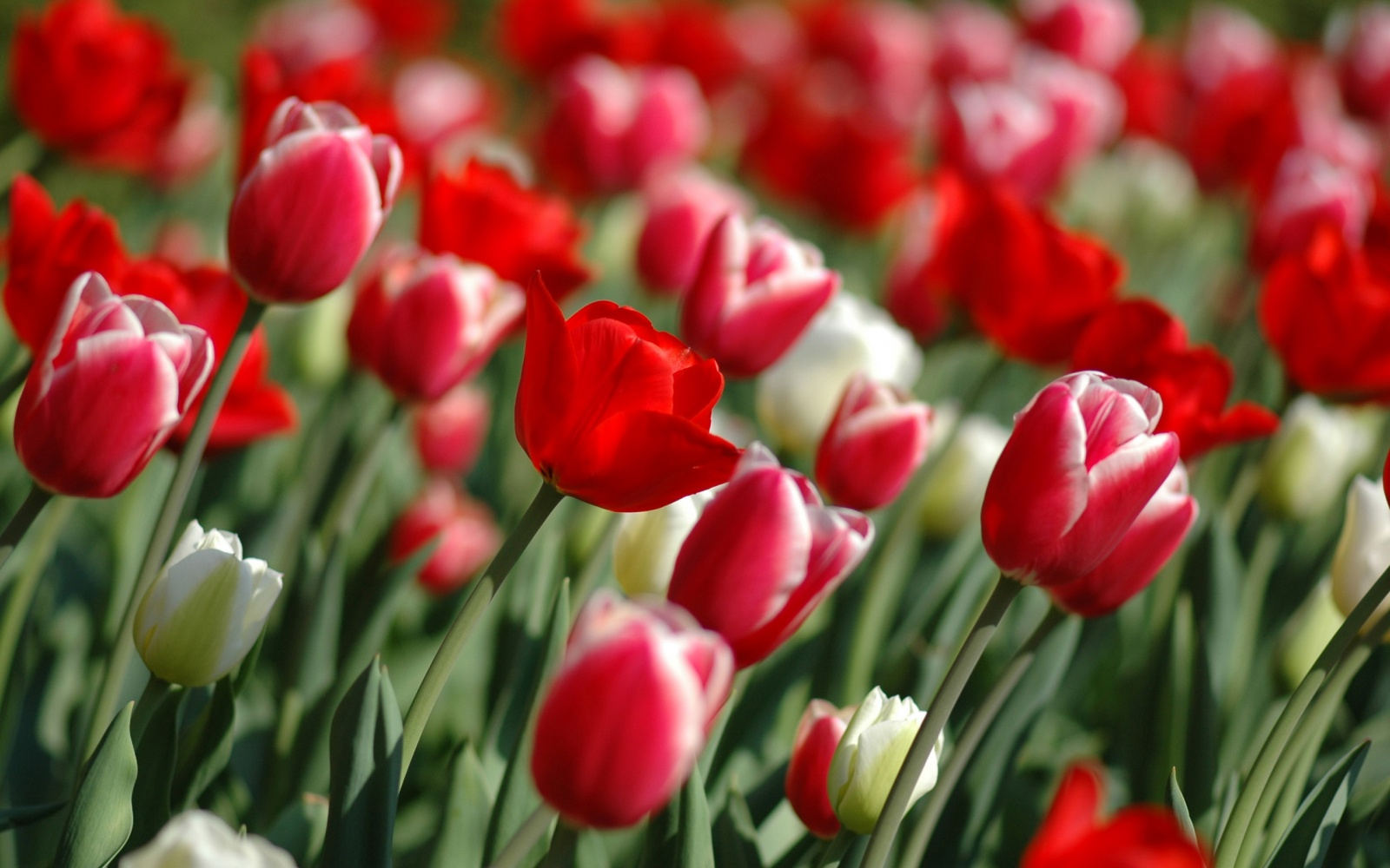 Flowers Wallpapers: Red Tulips Flowers Wallpapers