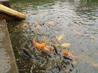 Hanoi Vietnam fotos peces del lago junto a la casa de Ho Chi Minh