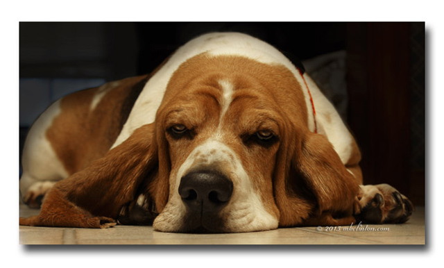 A Basset Hound's ears are one of their most distinctive features.