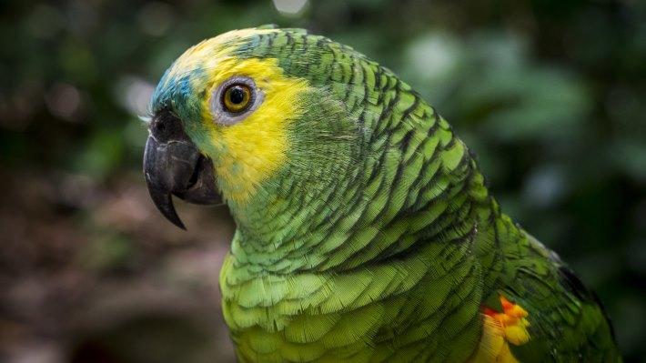 Wallpaper: Green Parrot