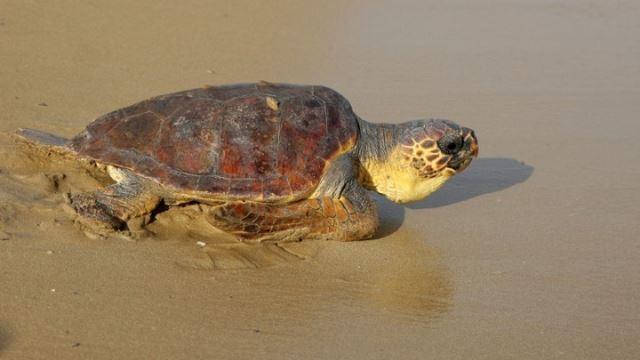Αριθμός ρεκόρ, φέτος, για τις φωλιές της Caretta Caretta στις παραλίες της Ζακύνθου
