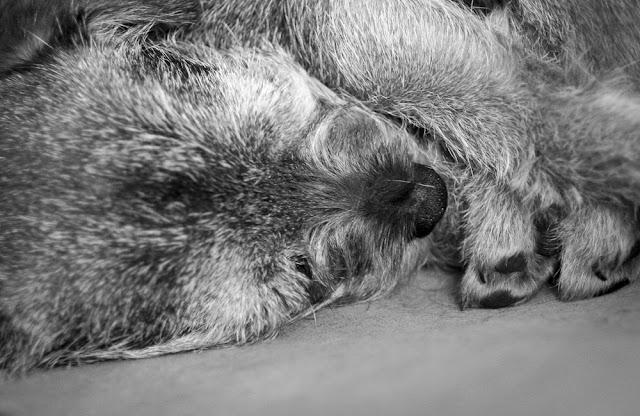 Koira unilla