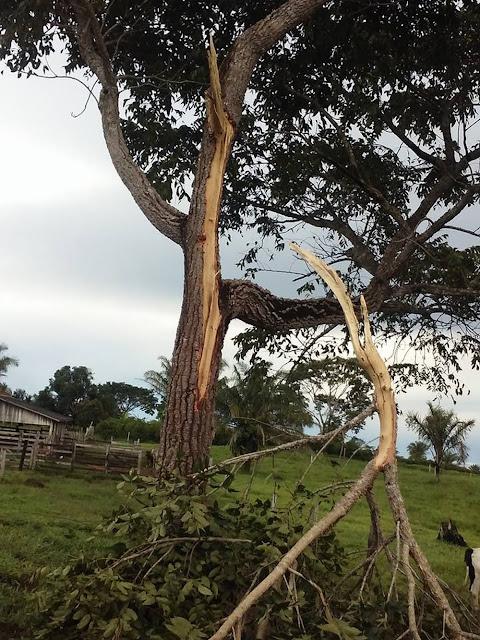 Raio cai em árvore e mata 8 bovinos em propriedade em Rondônia
