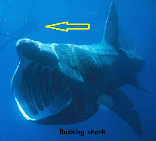 ikan hiu besar membuka mulut