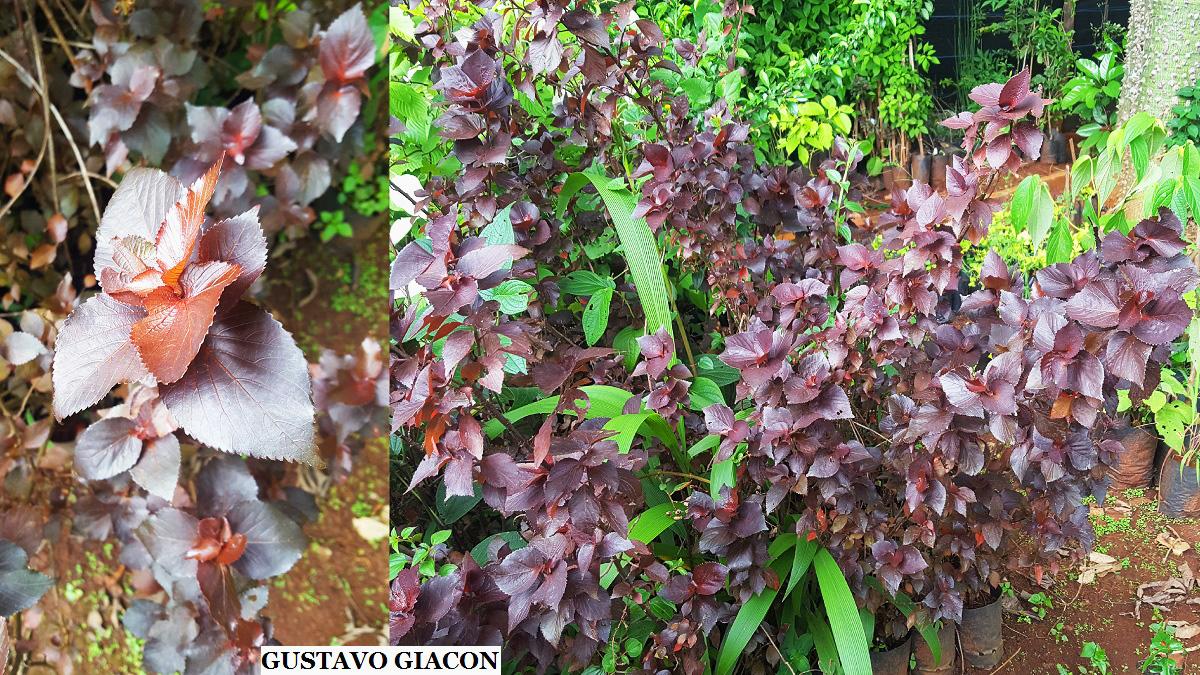 Viveiro Ciprest Plantas Nativas E Exóticas Acalifa Mosaica Nigra