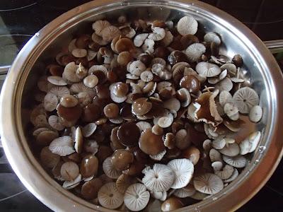 grzyby 2017, grzyby wiosenne, grzyby w kwietniu, jak rozpoznać szyszkówkę świerkową, z czym można pomylić szyszkówkę świerkową, jak odróżnić szyszkówkę świerkową od grzybówki wiosennej, Strobilurus esculentus szyszkówka świerkowa, Mycena strobilicola grzybówka wiosenna, Byssonectria fusispora oranżówka wrzecionowatozarodnikowa