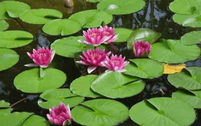 Tanaman Yang Hidup Dipermukaan Air