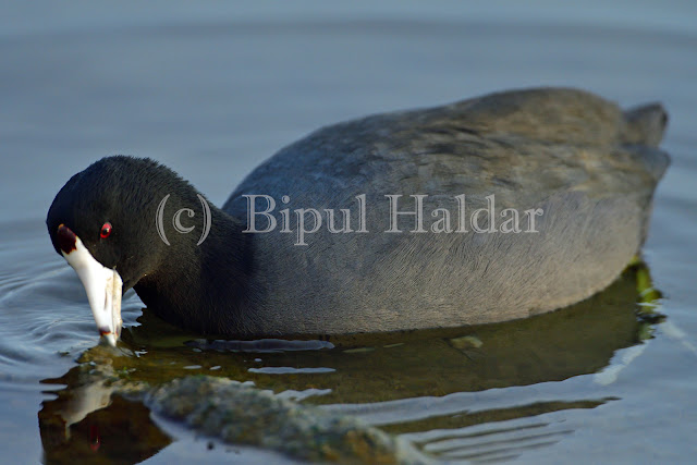 An American Coot Playing on Water