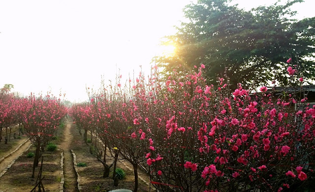 Peach blossoms bloom early in Hanoi flower village 2