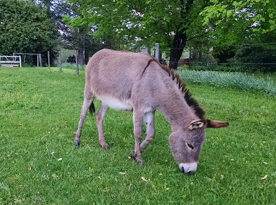 miniature donkey putting on some weight