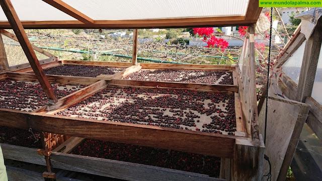 Agricultores palmeros toman como modelo la producción de café de Agaete para recuperar el cultivo en la isla