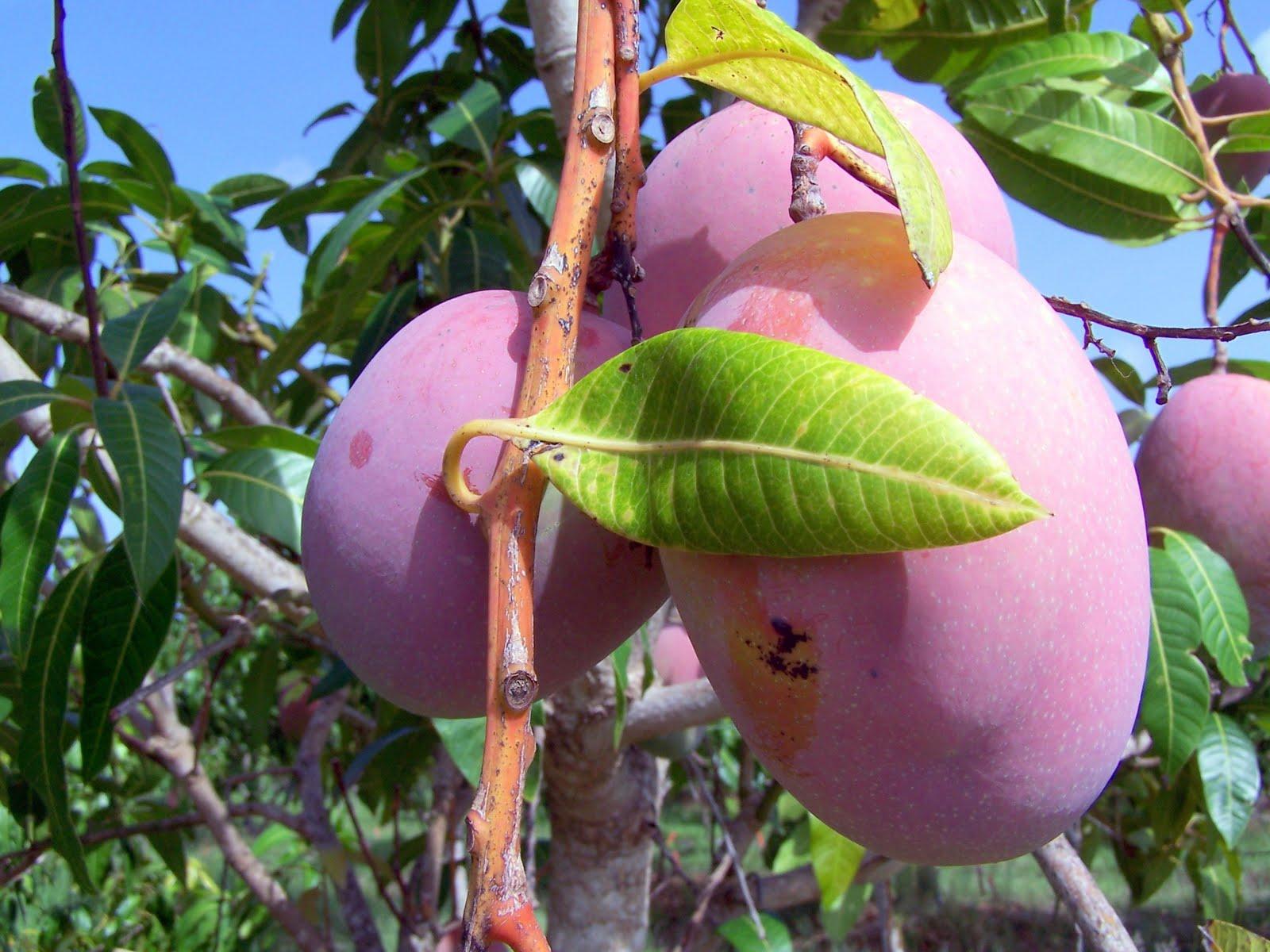Pine Island, Florida: Summer Rains Ripen Tropical Fruit On