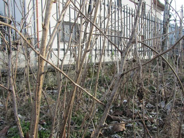 Rami Uno e Due Anni Rubus idaeus