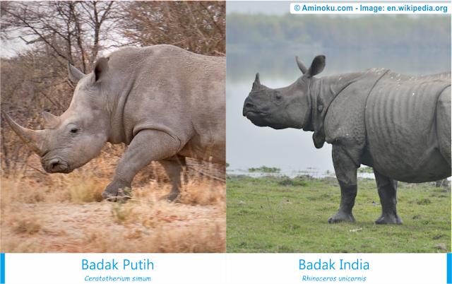 Perbedaan badak putih dan badak india