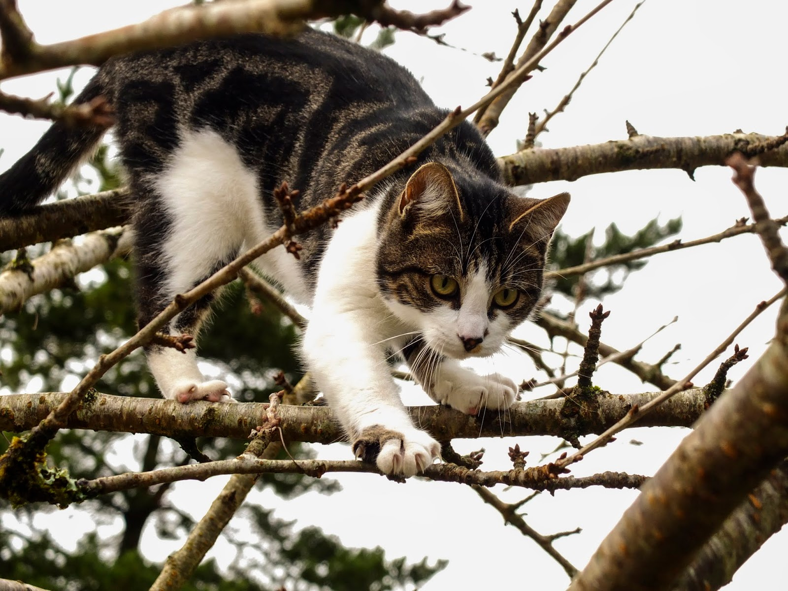 A cat balancing on branches up a cherry tree.