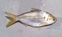 Japanese Gizzard Shad