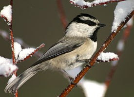 mountain chickadee, birdwatching, lake arrowhead