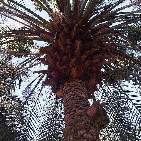 pohon kurma